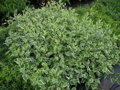 Baltoji sedula 'Elegantissima' (Cornus alba 'Elegantissima')