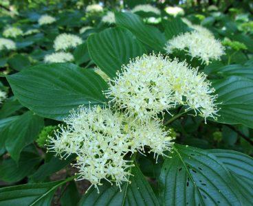 Pražangialapė sedula (Cornus alternifolia)
