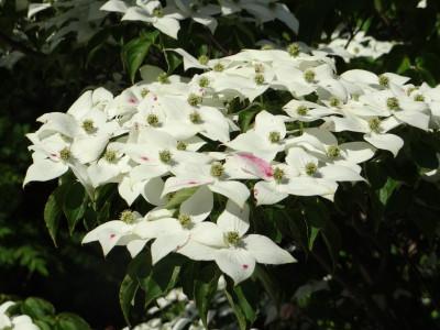 Japoninė sedula (Cornus kousa)