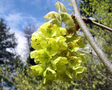 Kininis lazdenis (Corylopsis sinensis)