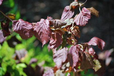 Paprastasis lazdynas 'Red majestic' (Corylus avellana 'Red majestic')