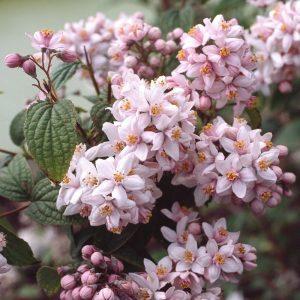 Hibridinė deucija 'Mont Rose' (Deutzia hybrida 'Mont Rose')