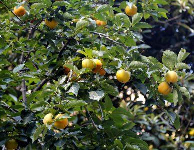 Japoninis persimonas (Rytinis juodmedis) (Diospyrus kaki)
