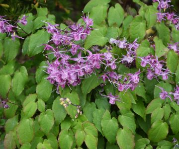 Didžiažiedis epimedis 'Lilafee' (Epimedium grandiflorum 'Lilafee')