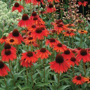 Ežiuolė 'Firebird' (Echinacea 'Firebird')