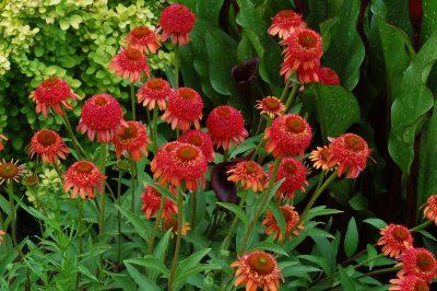 Ežiuolė 'Meteor Red' (Echinacea 'Meteor Red')