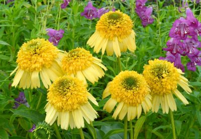 Ežiuolė 'Meteor Yellow' (Echinacea 'Meteor Yellow')
