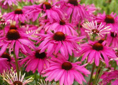 Ežiuolė 'Purple Emperor' (Echinacea 'Purple Emperor')