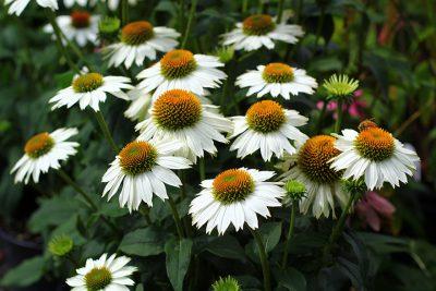 Rausvažiedė ežiuolė 'Powwow White' (Echinacea purpurea 'Powwow White')