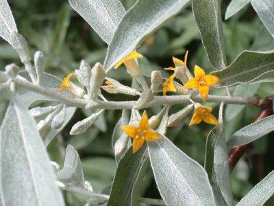 Siauralapis žilakrūmis (Eleagnus angustifolia)