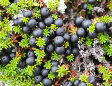 Juodoji varnauogė (Empetrum nigrum)