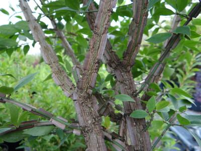Sparnuotasis ožekšnis (Euonymus alatus)