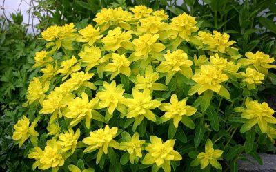 Spalvotoji karpažolė 'Senior' (Euphorbia polychroma 'Senior')