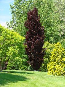 Paprastasis bukas 'Dawyck Purple' (Fagus sylvatica 'Dawyck Purple')