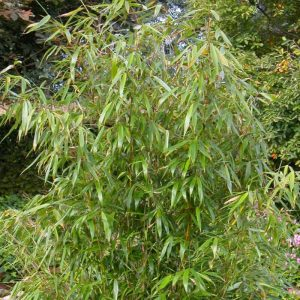 Skėtinis bambukas 'Super Jumbo' (Fargesia murieliae 'Super Jumbo')