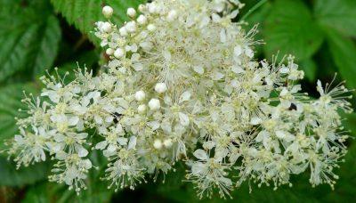 Pelkinė vingiorykštė (Filipendula ulmaria)