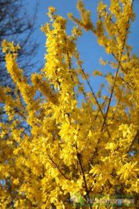 Tarpinė forsitija 'Lynwood Gold' (Forsythia intermedia 'Lynwood Gold')