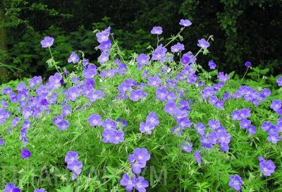 Snaputis 'Brookside' (Geranium 'Brookside')