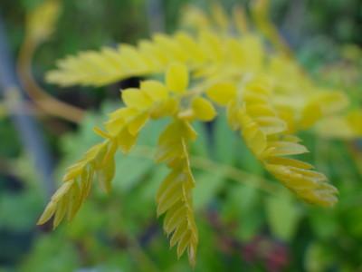 Tridyglė gledičija (Gleditschia triacanthos)