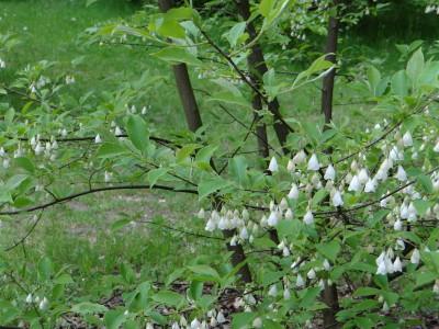 Smulkiažiedis skambenis (halesia), pakalnučių medis (Halesia carolina)