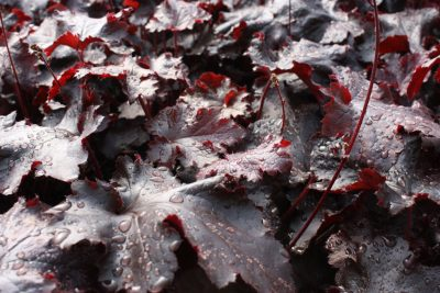 Alūnė 'Black Beauty' (Heuchera 'Black Beauty')
