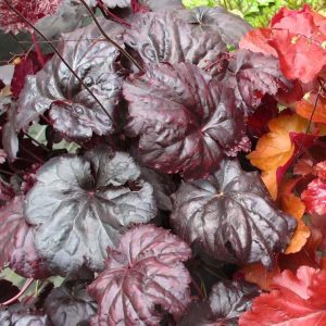 Alūnė 'Black Sea' (Heuchera 'Black Sea')