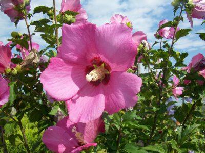 Hibiskas 'Woodbridge' (Hibiscus syriacus 'Woodbridge')