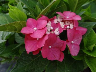Didžialapė hortenzija 'Bouquet Rose' (Hydrangea macrophylla 'Bouquet Rose')
