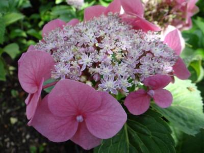 Didžialapė hortenzija 'Fasan' (Hydrangea macrophylla 'Fasan')