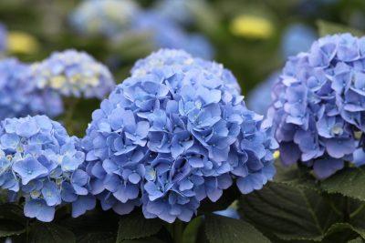 Didžialapė hortenzija 'Lavbla' (Mėlyna) (Hydrangea macrophylla 'Lavbla' (Mėlyna))