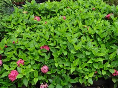 Didžialapė hortenzija 'Rouge' (Hydrangea macrophylla 'Rouge')