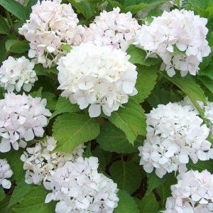 Didžialapė hortenzija 'Soeur Therese' (Hydrangea macrophylla 'Soeur Therese')