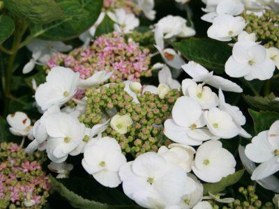 Didžialapė hortenzija 'Teller Weiss' (baltais žiedais) (Hydrangea macrophylla 'Teller Weiss')