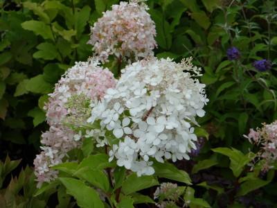 Šluotelinė hortenzija 'Bobo' (Hydrangea paniculata 'Bobo')