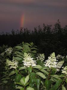 Šluotelinė hortenzija 'Kyushu' (Hydrangea paniculata 'Kyushu')