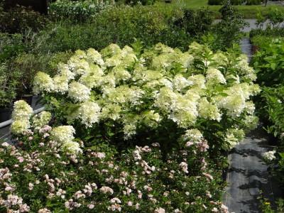 Šluotelinė hortenzija 'Phantom' (Hydrangea paniculata 'Phantom')