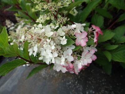 Šluotelinė hortenzija 'Pinky Winky' (Hydrangea paniculata 'Pinky Winky')