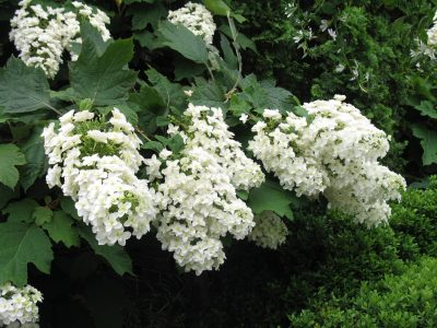 Ąžuolalapė hortenzija 'Black Porch' (Hydrangea quercifolia 'Black Porch')