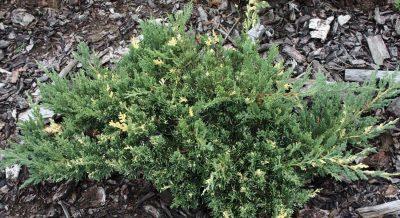 Kininis kadagys 'Expansa aureovariegata' (Juniperus chinensis 'Expansa aureovariegata')