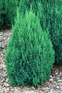 Kininis kadagys 'Stricta' (Juniperus chinensis 'Stricta')