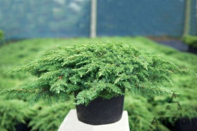 Paprastasis kadagys 'Green Carpet' (Juniperus communis 'Green Carpet')