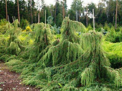 Paprastasis kadagys 'Horstmann' (Juniperus communis 'Horstmann')