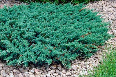 Padrikasis kadagys 'Blue Chip' (Juniperus horizontalis 'Blue Chip')