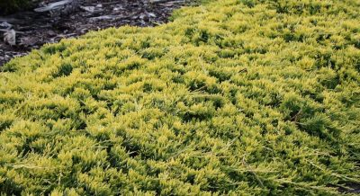 Paprastasis kadagys 'Golden Carpet' (Juniperus horizontalis 'Golden Carpet')