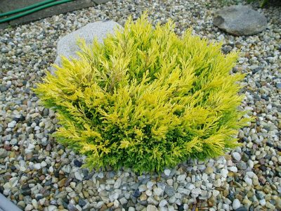 Padrikasis kadagys 'Limeglow' (Juniperus horizontalis 'Limeglow')