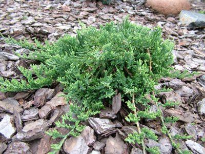 Padrikasis kadagys 'Wiltonii' (Juniperus horizontalis 'Wiltonii')