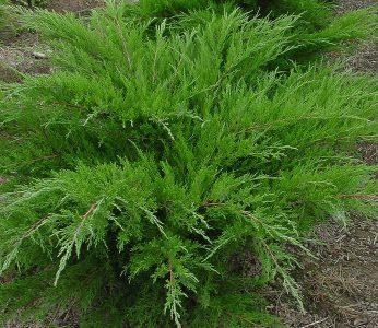 Tarpinis kadagys 'Mint Julep' (Juniperus media 'Mint Julep')