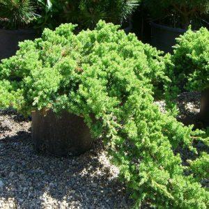 Gulsčiasis kadagys 'Nana' (Juniperus procumbens 'Nana')