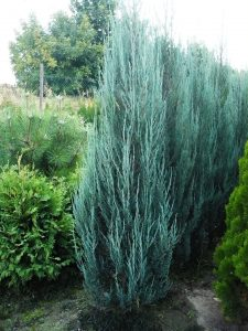 Uolinis kadagys 'Blue Arrow' (Juniperus scopulorum 'Blue Arrow')