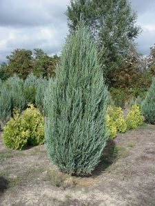 Uolinis kadagys 'Skyrocket' (Juniperus scopulorum 'Skyrocket')